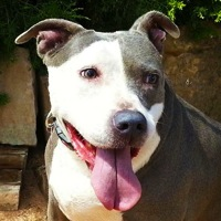 United Kingdom American Staffordshire Terrier Rescue