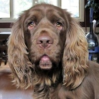 Sussex Spaniel Rescue