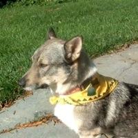 Swedish Vallhund Rescue