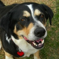 Greater Swiss Mountain Dog Rescue