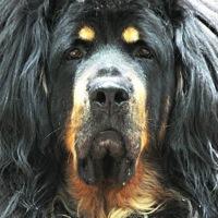 Tibetan Mastiff Rescue