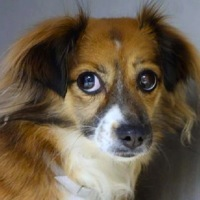 South Carolina Tibetan Spaniel Rescue