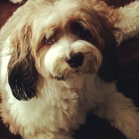 California Tibetan Terrier Rescue