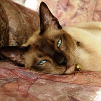 California Tonkinese Rescue