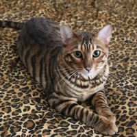 West Virginia Toyger Rescue