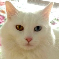 Turkish Angora Rescue