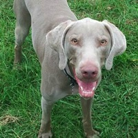 Hawaii Weimaraner Rescue