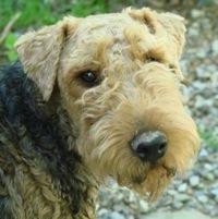 Welsh Terrier Rescue