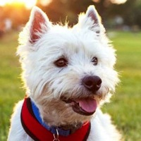 Washington Westie Rescue
