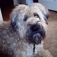 Soft Coated Wheaten Terrier Rescue