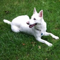 Maine White Shepherd Rescue