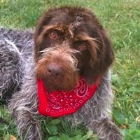Texas German Wirehaired Pointer Rescue