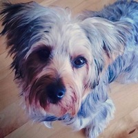 Michigan Yorkie Rescue
