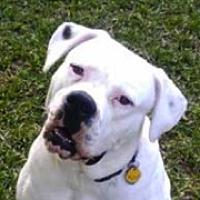 American Bulldog Rescue ― ADOPTIONS
