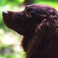 American Water Spaniel Rescue ― ADOPTIONS