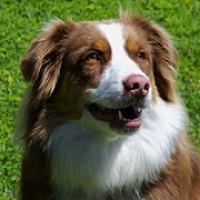 Texas Australian Shepherd Rescue Adoptions Rescue Me