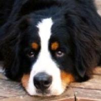 Bernese Mountain Dog Rescue Montana