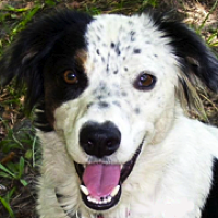 Border Collie Rescue ― Adoptions