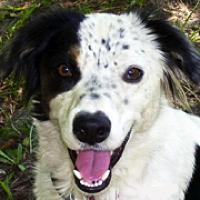 North Carolina Border Collie Rescue Adoptions Rescue Me
