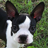 Boston Terrier Rescue ― Adoptions