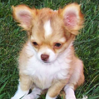 Chihuahua Rescue Adoptions