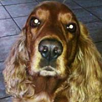 Cocker Spaniel Rescue ― Adoptions