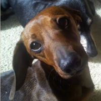 Maine Dachshund Rescue - ADOPTIONS - Rescue Me!