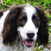 Pennsylvania english springer spaniel rescue adoptions