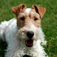 Washington Fox Terrier Rescue - ADOPTIONS - Rescue Me!