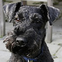 Kerry Blue Terrier New Jersey Kerry Blue Terrier Res...