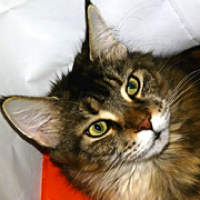 Wisconsin Maine Coon Rescue - ADOPTIONS - Rescue Me!
