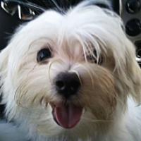 Maltese Rescue Adoptions