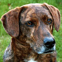 Tennessee Mountain Cur Rescue ― ADOPTIONS ― RescueMe.Org
