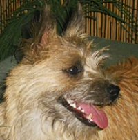 Norwich Terrier Rescue ― ADOPTIONS