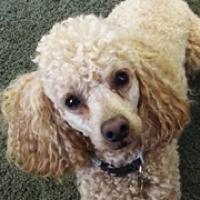 Poodle Rescue ― ADOPTIONS