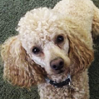 Washington Poodle Rescue Adoptions Rescue Me
