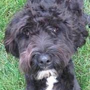 Portuguese Water Dog Rescue ― Adoptions