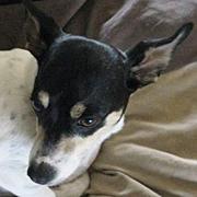 Georgia Rat Terrier Rescue - ADOPTIONS - Rescue Me!