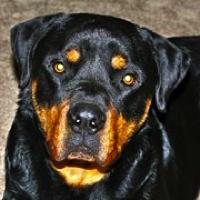 Rottweiler Rescue Adoptions