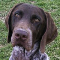 German Shorthaired Pointer Rescue Adoptions