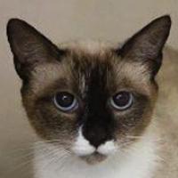 Rescue Siamese Cats Florida