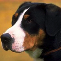 Greater Swiss Mountain Dog Rescue Adoptions