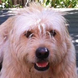 Soft Coated Wheaten Terrier Rescue ― Adoptions