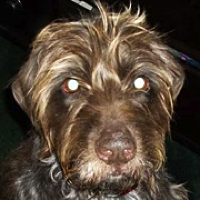 Wirehaired Pointing Griffon Rescue ― ADOPTIONS