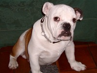 dallas bulldog rescue texas bulldog rescue adoptions rescueme org 7670