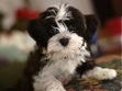 Kansas Havanese Rescue Havanese Kansas City