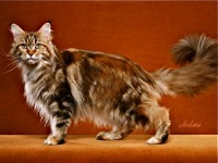 PIease Read Before Adopting a Maine Coon in Texas