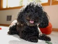 Australia Poodle Rescue ― ADOPTIONS ― RescueMe Org