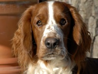 New Jersey Welsh Springer Spaniel Rescue ― ADOPTIONS ... Welsh Springer Spaniel Adoption