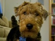 Welsh Terrier Rescue Florida Florida Welsh Terrier Rescue